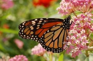 Monarch_Butterfly_Milkweed